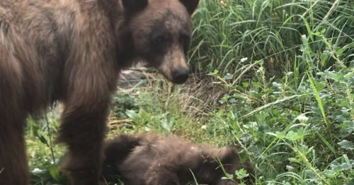 Park Ranger Shares Heartbreaking Story of a Mother Bear Mourning Her Cub To Encourage Safety