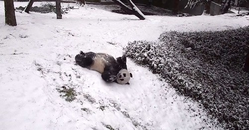 Adorable Video Captures Giant Pandas Sliding and Frolicking in the Snow