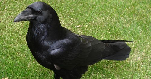 Study Finds That 4-Month-Old Ravens Are as Intelligent as Adult Apes