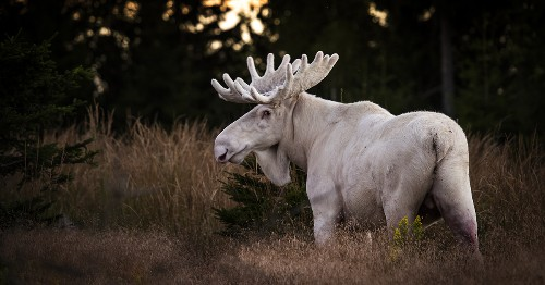 Rare Sighting of a White Moose in the Swedish Woods [Interview]
