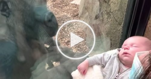 Zoo Gorilla Brings Her Baby Over To Meet Mom and Newborn on Other Side of Glass