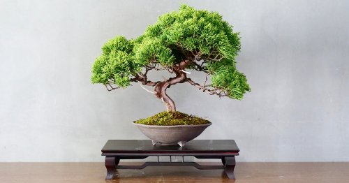 Behold the Bonsai: Learn the Ancient History and Meaning of This Miniature Tree