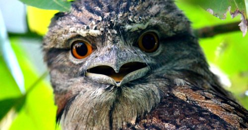 Meet the Frogmouth, an Owl-Like Bird With a Distinctly Expressive Face