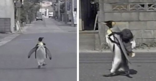 Adorable Penguin in Japan Walks Into Town To Get a Fish From His Local Market