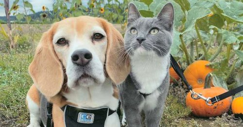 Adorably Inseparable Beagle and Cat Pose for Cute Photos at a Pumpkin Patch