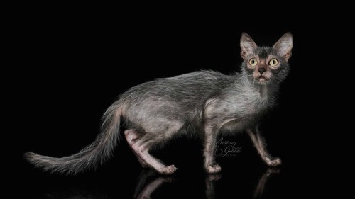 """Lykoi is a Brand New Breed of Felines Known as """"Werewolf Cats"""""""