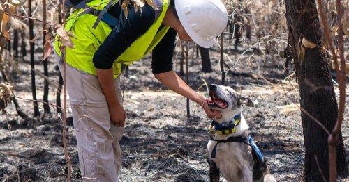 Heroic Dog Gets Award for Saving More Than 100 Koalas From Australia's Bushfires