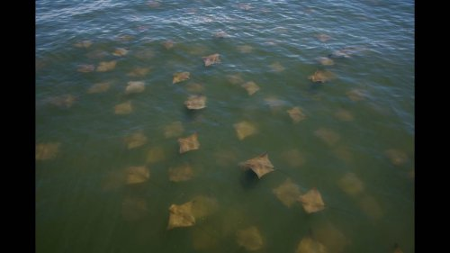 Swarm of cownose rays descends on Charleston Harbor, photos show. What was going on?