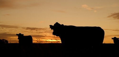 Why Cattle Mutilations Aren't the Work of Aliens   Mysterious Universe