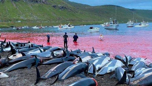 Färöer: Delfinjagden werden überprüft