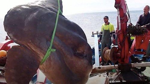 Forscher retten gigantischen Sonnenfisch mit Kran