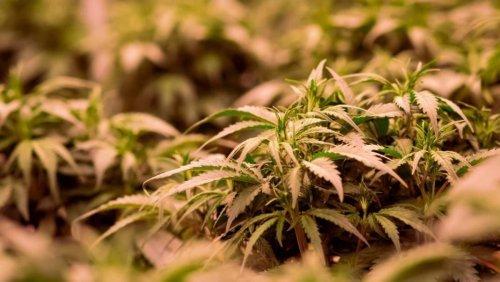 Heidelberger Psychiater betont Gefährlichkeit von Cannabis