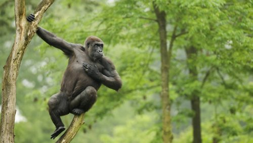 Brusttrommel-Ton von Gorillas verrät Größe