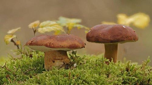 Noch immer radioaktive Pilze in Deutschland