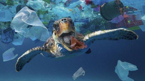 Plastikmüll gefährdet junge Schildkröten