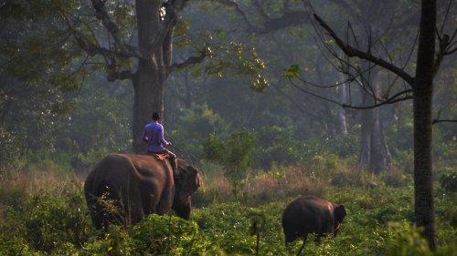 Tiger tötet Elefantenreiter bei Nashornzählung