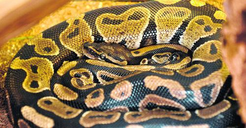 3,5 Meter lange Python aus Wohnung in Japan entkommen