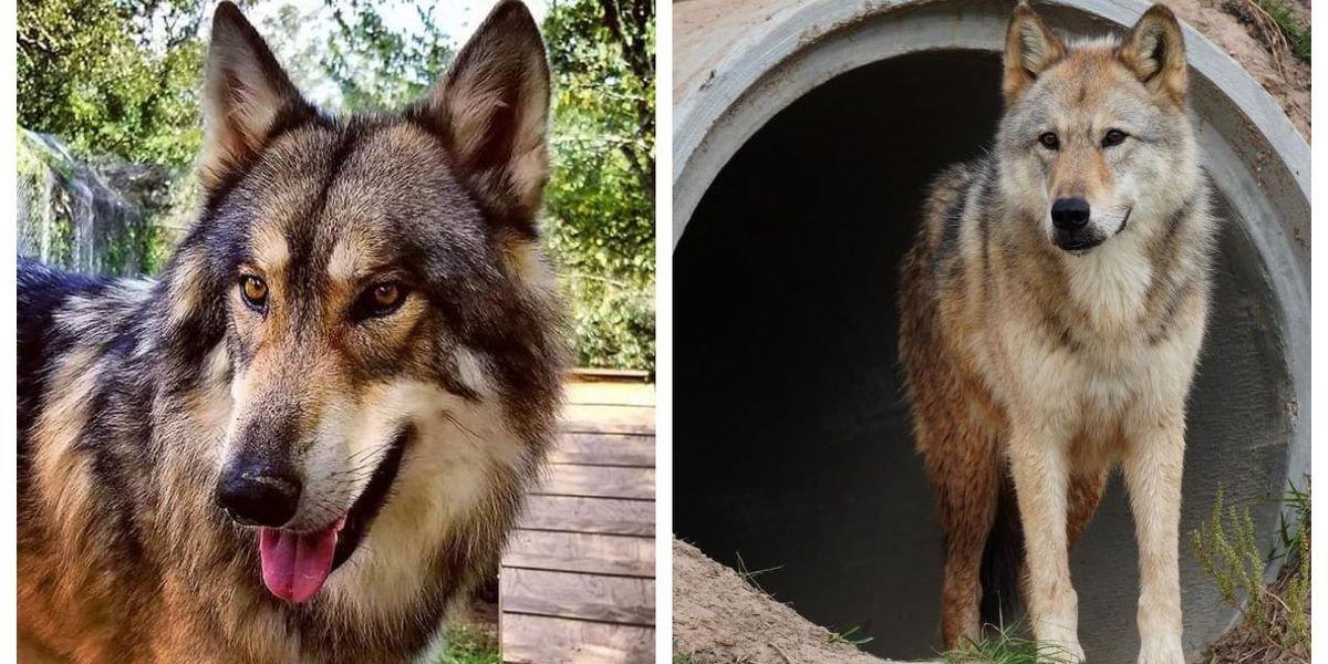 A Wolf Sanctuary Near Houston Lets You Meet Actual Wolves
