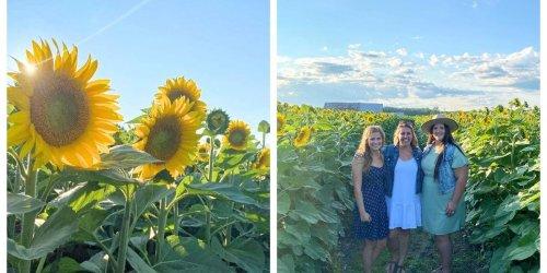 A Massive New Sunflower Farm Is Opening Near Ottawa & You Can Brunch In Golden Fields