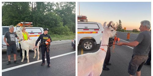 A Lost Llama Caused Chaos On Highway 400 Before Being Reunited With Its Fam (VIDEO)