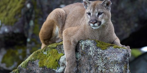 Mountain Lions Are In North Texas Right Now And They're Not Supposed To Be There (VIDEO)