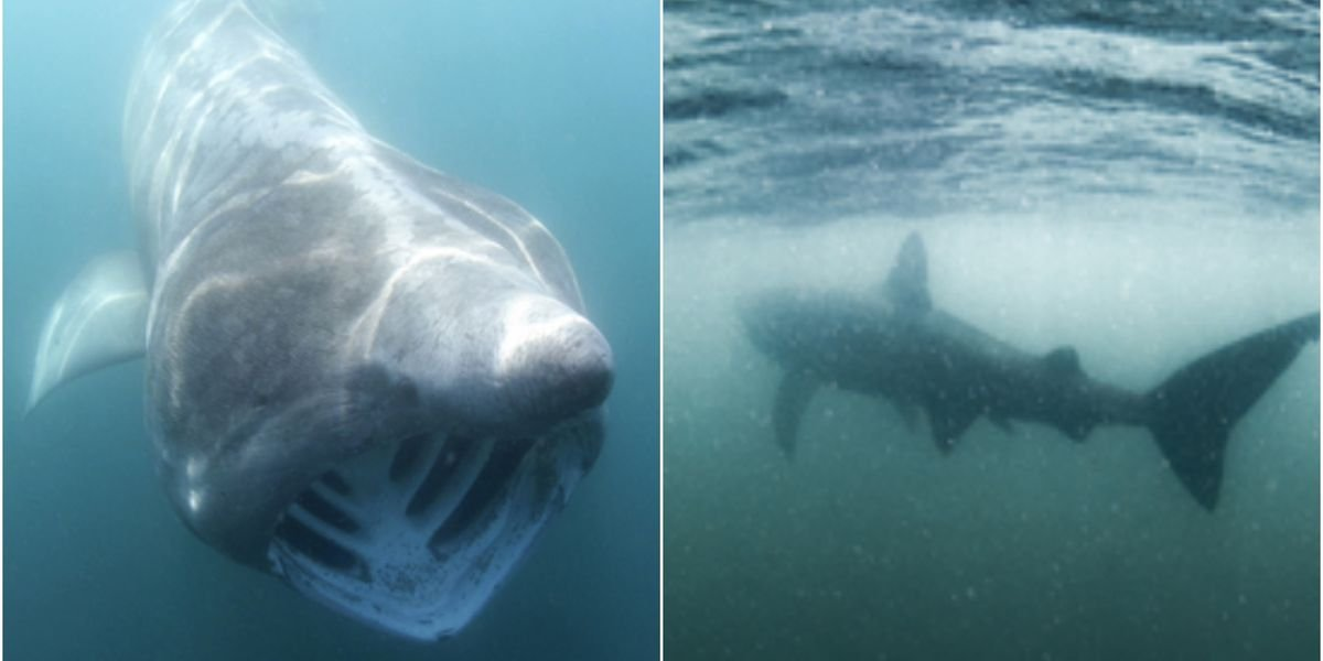 Bus-Size Basking Sharks Could Be Making A Comeback In Canadian Waters