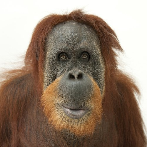 Orangutans   National Geographic