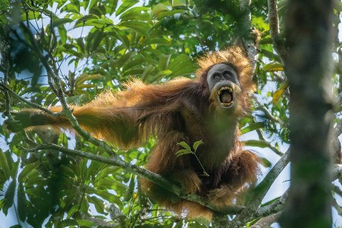 Inside the private lives of orangutans