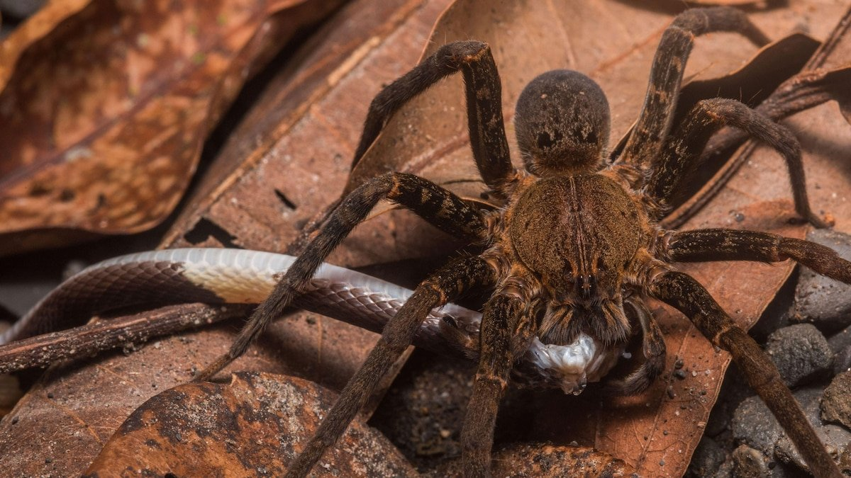 Spiders eat snakes around the world, surprising study reveals