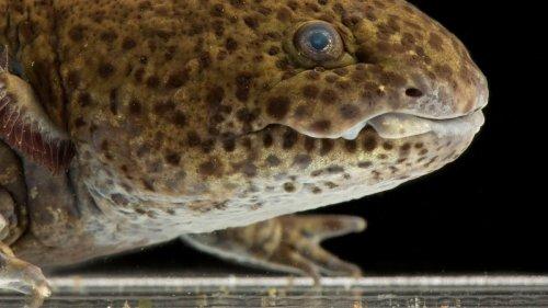 Axolotl   National Geographic