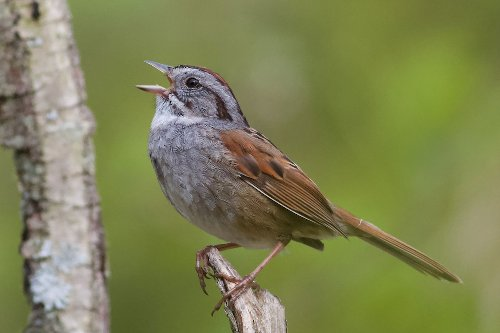 This bird has been singing the same song for 1,000 years