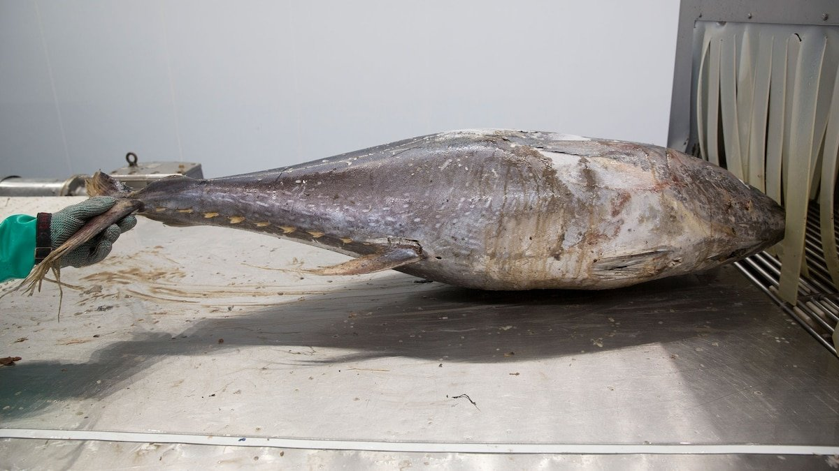 How 'dolphin safe' is canned tuna, really?