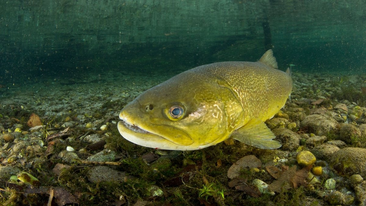 Trout can become 'addicted' to meth. Here's why that's so scary.