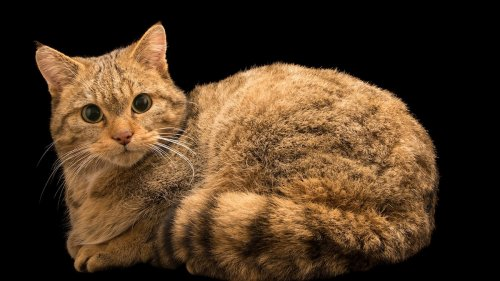 House cat ancestors' remains found in Polish caves—2,000 miles from home