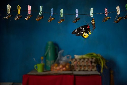 Inside the murky world of butterfly catchers
