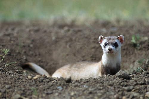 A black-footed ferret has been cloned, a first for a U.S. endangered species