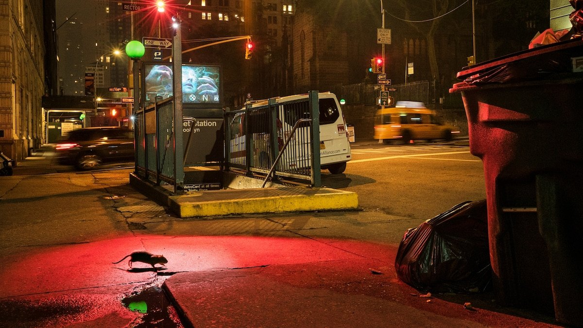 How rats became an inescapable part of city living