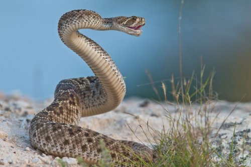 Rattlesnakes trick humans into thinking they're closer than they are
