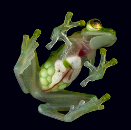These see-through frogs are full of surprises
