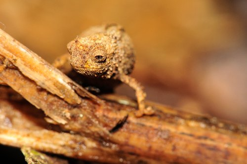 This tiny chameleon may be world's smallest reptile