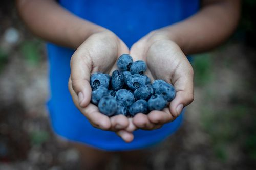 'It doesn't feel safe.' Inside one of the world's blueberry capitals