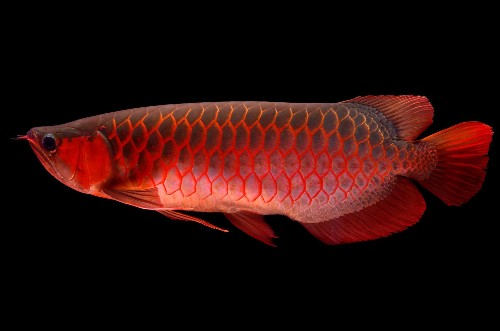 Meet the World's Most Expensive Pet Fish