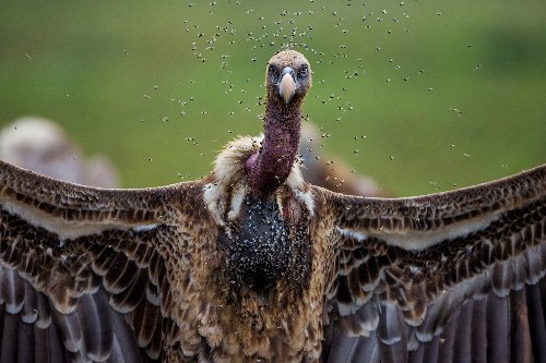 Vultures are revolting. Here's why we need to save them.
