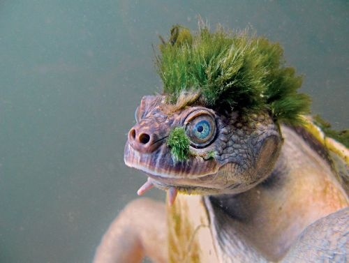 This endangered turtle sports a mohawk—made of algae