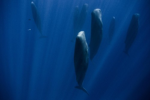 Why these whales are 'standing' in the ocean
