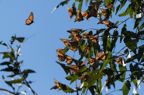 Monarch butterflies denied endangered species listing despite shocking decline