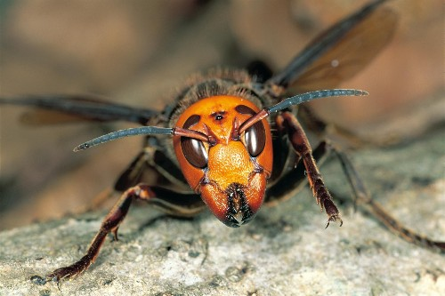 'Murder hornet' mania highlights dangers of fearing insects and spiders
