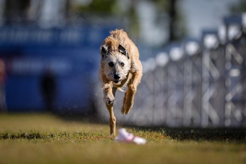 Meet Phelan the rescue pup—now America's fastest dog