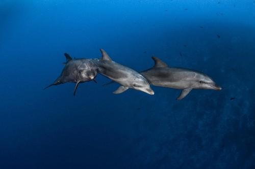 Dolphins learn how to use tools from peers, just like great apes