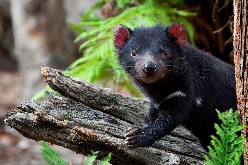 Gruesome cancer afflicting Tasmanian devils may be waning, a hopeful sign